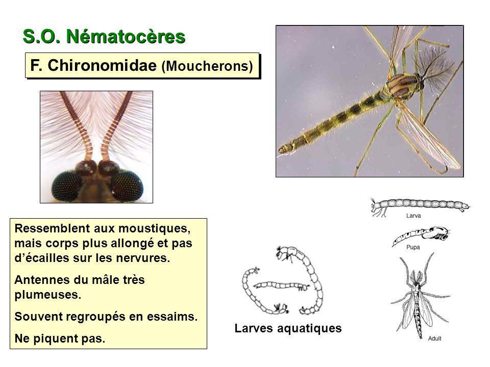 S.O. Nématocères F. Chironomidae (Moucherons)