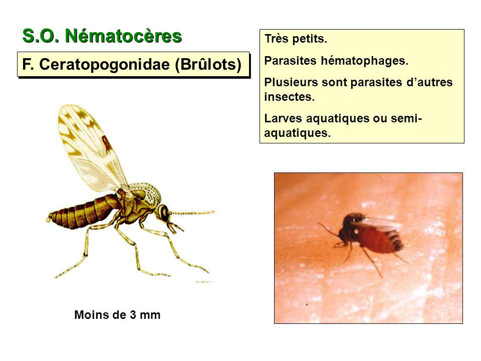 S.O. Nématocères F. Ceratopogonidae (Brûlots) Très petits.