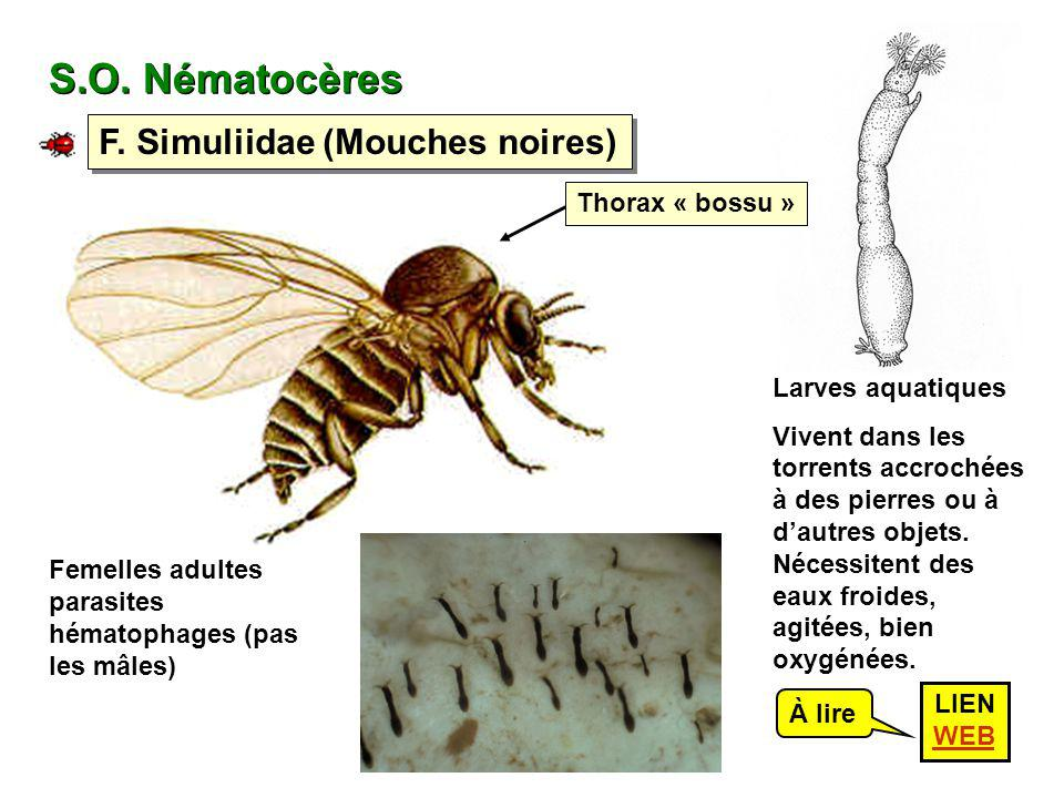 S.O. Nématocères F. Simuliidae (Mouches noires) Thorax « bossu »