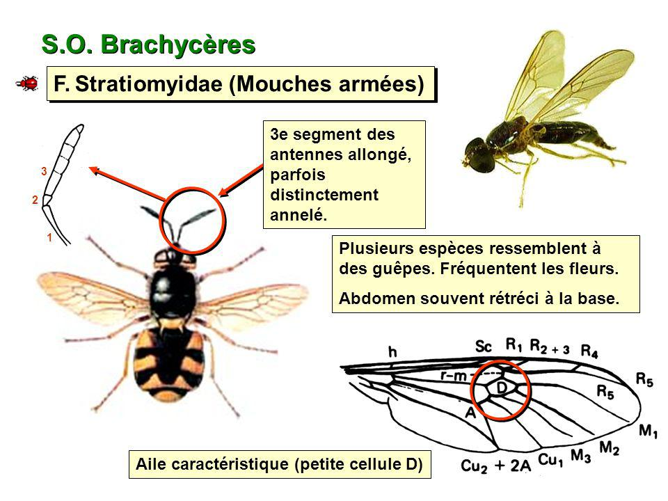 S.O. Brachycères F. Stratiomyidae (Mouches armées)