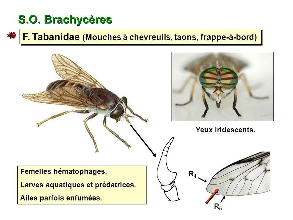 S.O. Brachycères F. Tabanidae (Mouches à chevreuils, taons, frappe-à-bord) Yeux iridescents. Femelles hématophages.