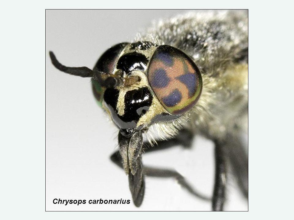Chrysops carbonarius