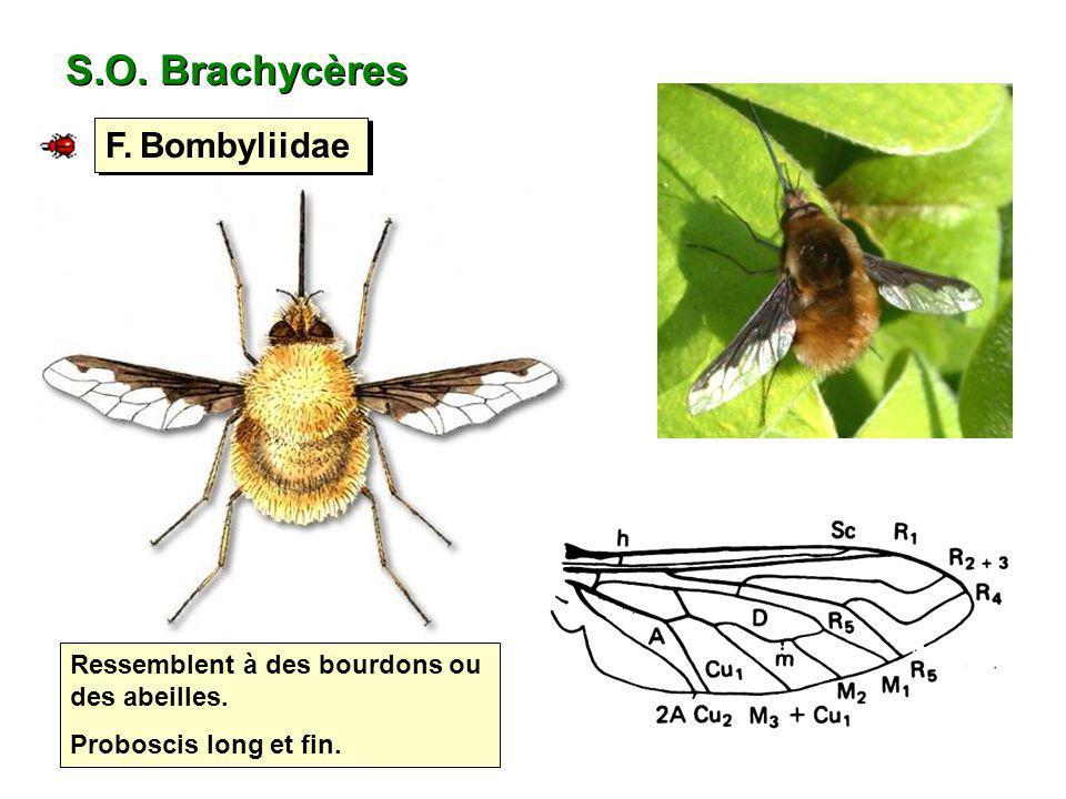 S.O. Brachycères F. Bombyliidae
