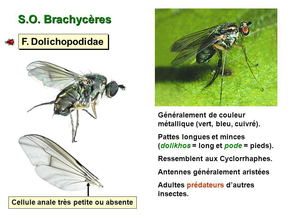 S.O. Brachycères F. Dolichopodidae