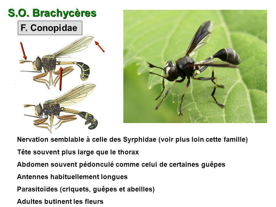 S.O. Brachycères F. Conopidae