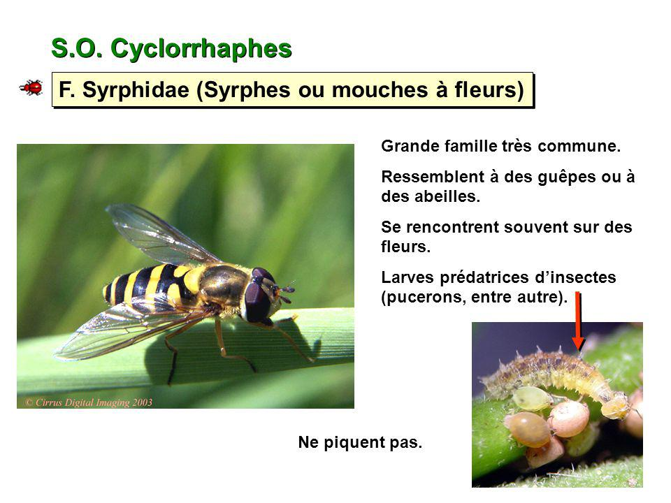 S.O. Cyclorrhaphes F. Syrphidae (Syrphes ou mouches à fleurs)
