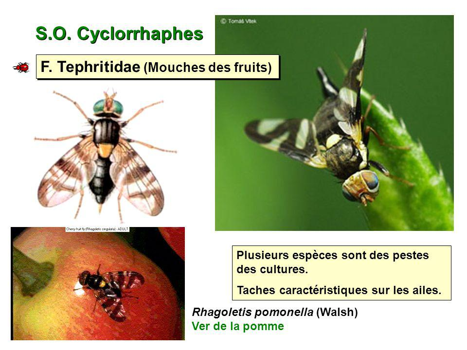 S.O. Cyclorrhaphes F. Tephritidae (Mouches des fruits)