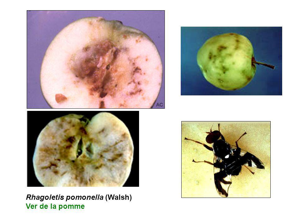 Rhagoletis pomonella (Walsh) Ver de la pomme