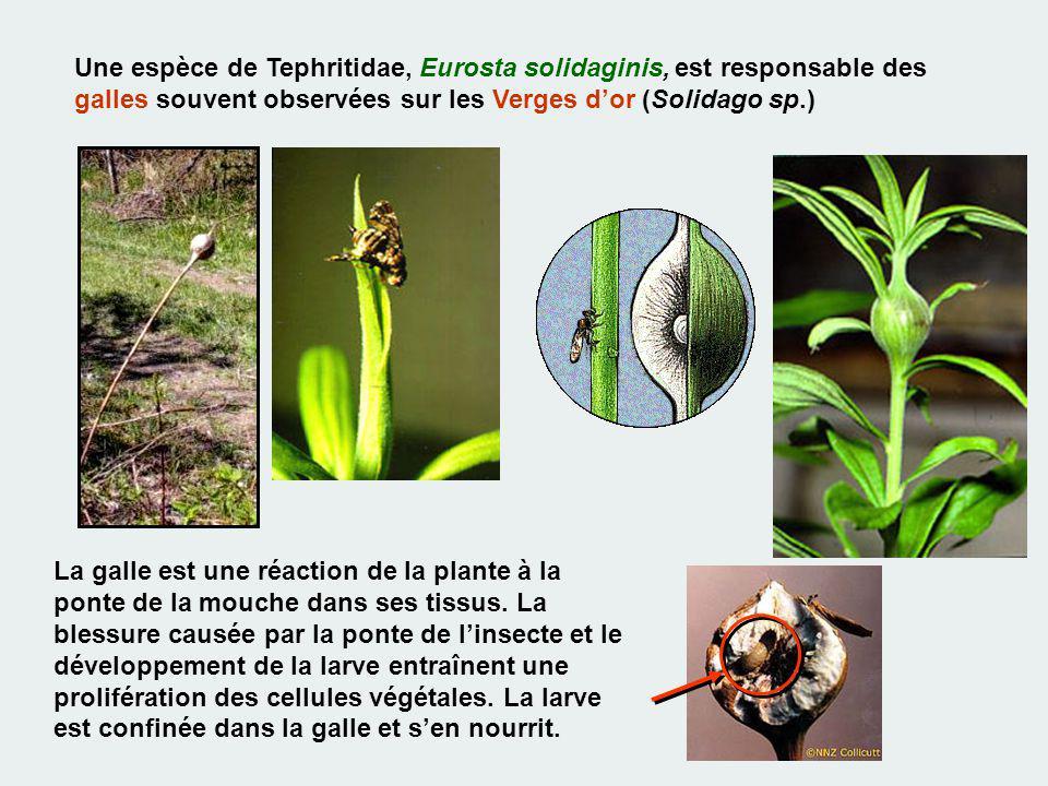 Une espèce de Tephritidae, Eurosta solidaginis, est responsable des galles souvent observées sur les Verges d'or (Solidago sp.)