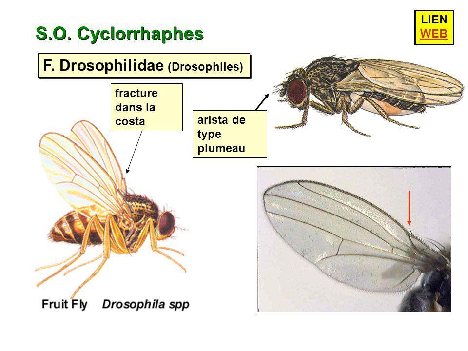S.O. Cyclorrhaphes F. Drosophilidae (Drosophiles) LIEN WEB