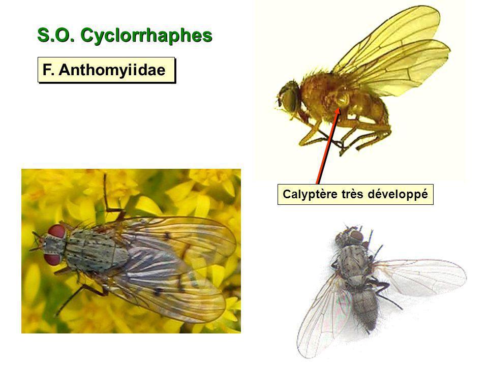 S.O. Cyclorrhaphes F. Anthomyiidae Calyptère très développé
