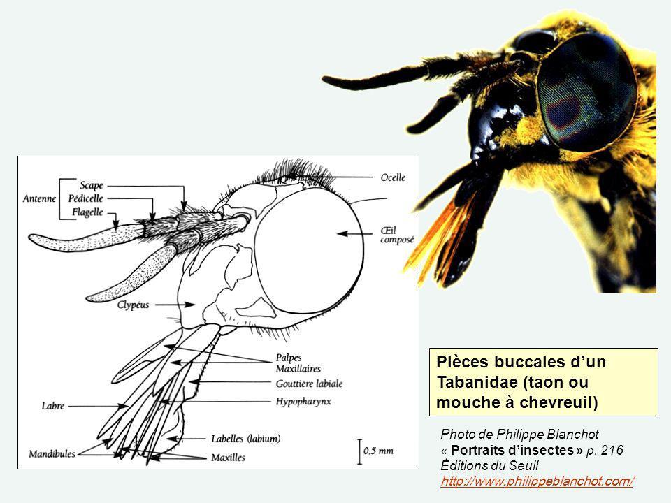 Pièces buccales d'un Tabanidae (taon ou mouche à chevreuil)