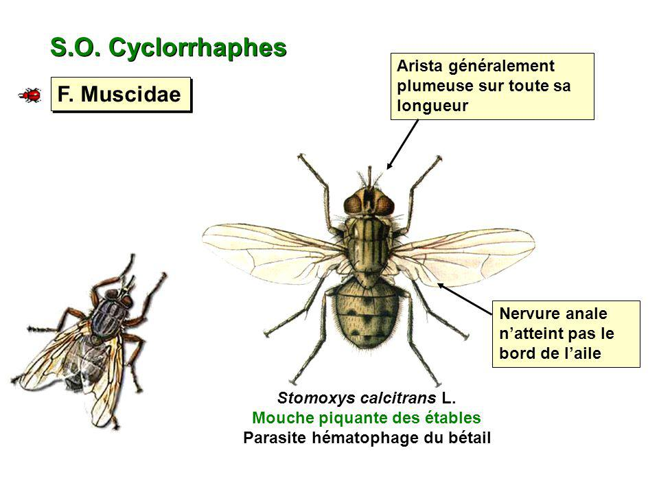 S.O. Cyclorrhaphes F. Muscidae