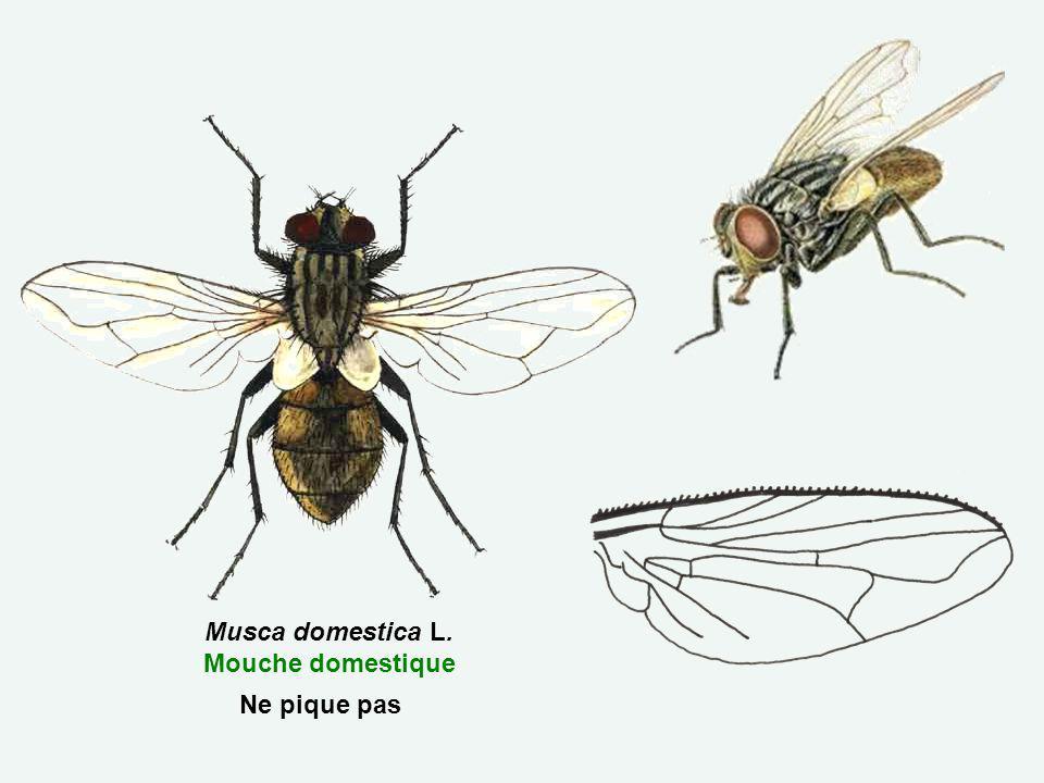 Musca domestica L. Mouche domestique