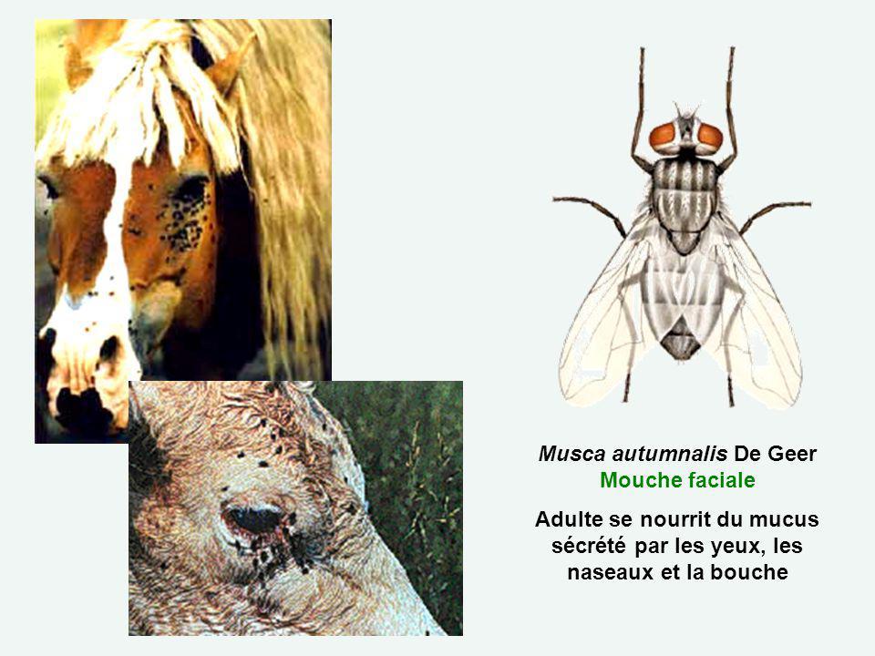 Musca autumnalis De Geer Mouche faciale