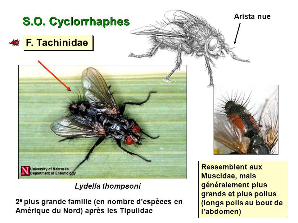 S.O. Cyclorrhaphes F. Tachinidae Arista nue
