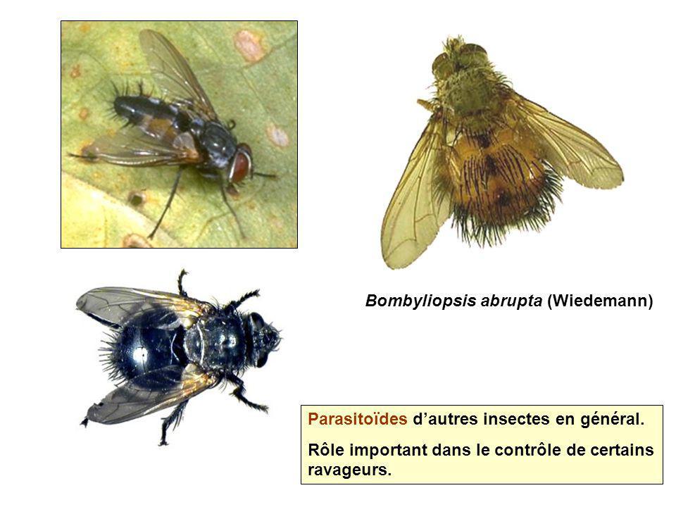 Bombyliopsis abrupta (Wiedemann)