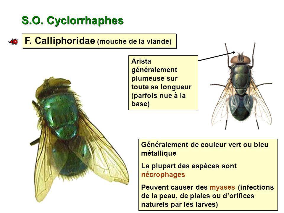 S.O. Cyclorrhaphes F. Calliphoridae (mouche de la viande)