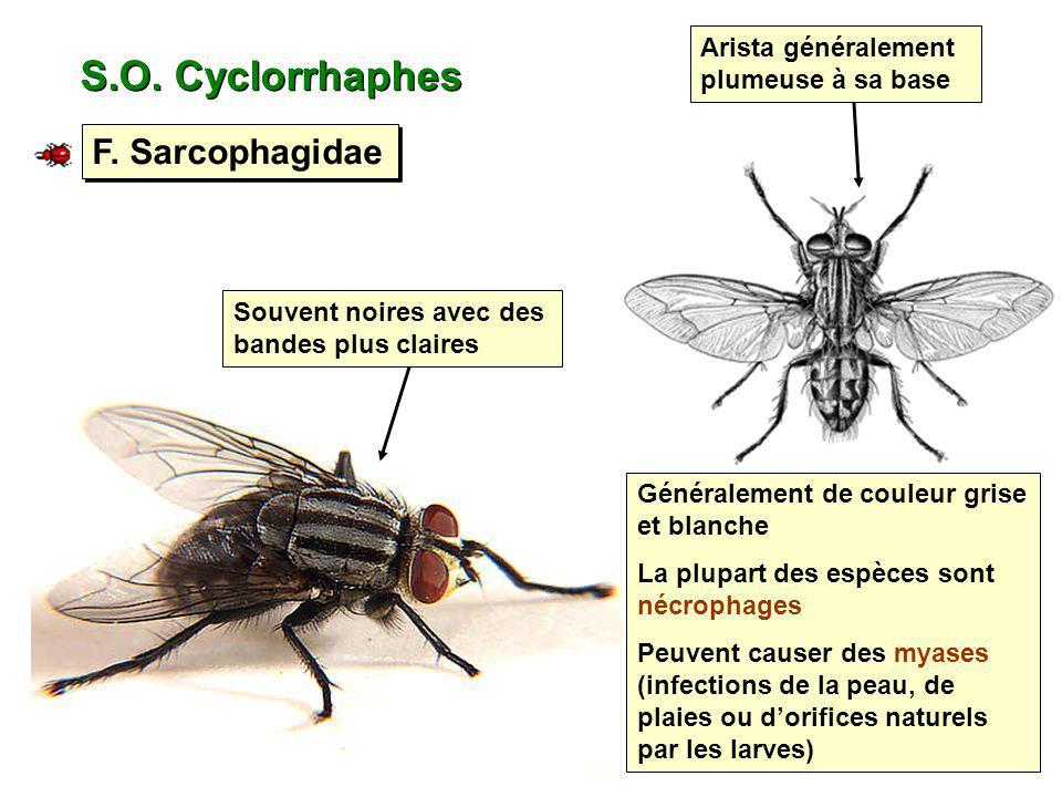 S.O. Cyclorrhaphes F. Sarcophagidae