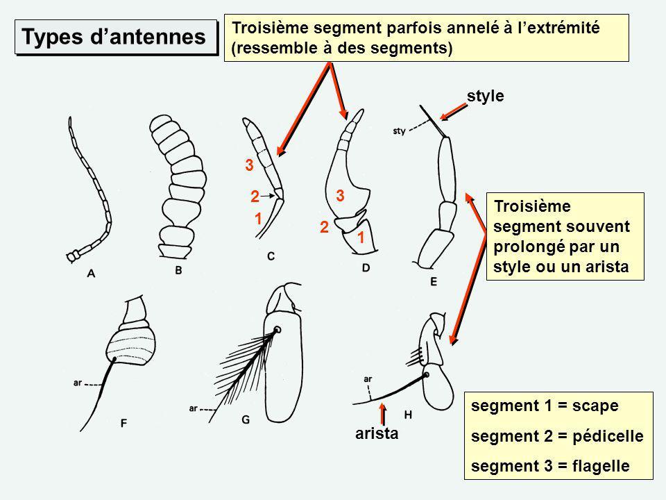Troisième segment parfois annelé à l'extrémité (ressemble à des segments)