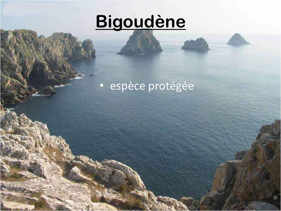 Bigoudène espèce protégée