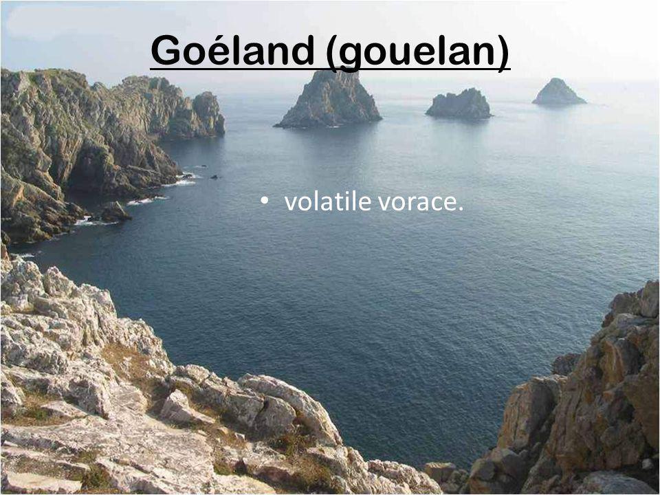 Goéland (gouelan) volatile vorace.