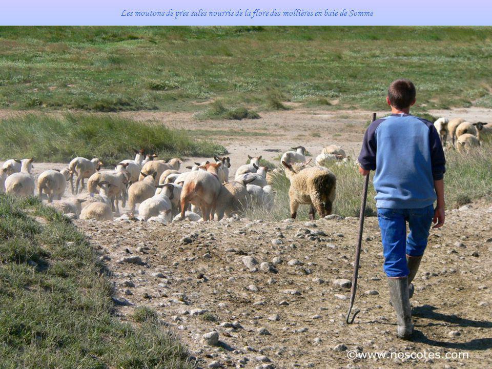 Les moutons de près salés nourris de la flore des mollières en baie de Somme
