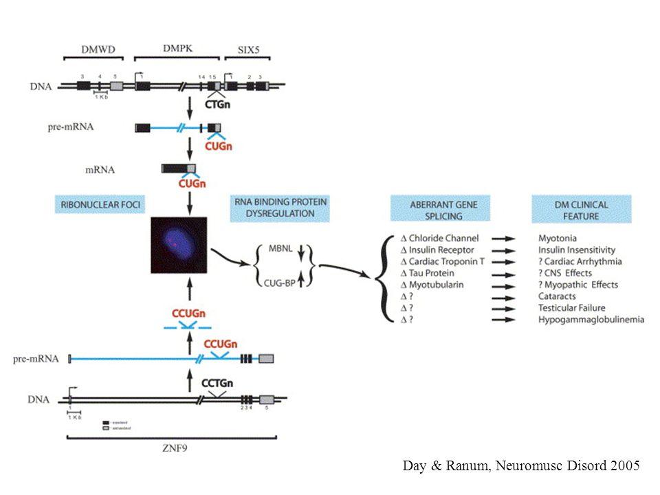 Day & Ranum, Neuromusc Disord 2005