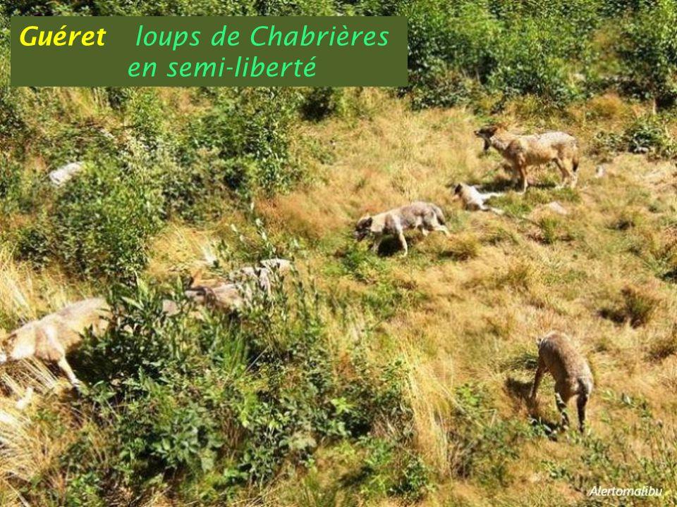 Guéret loups de Chabrières . en semi-liberté