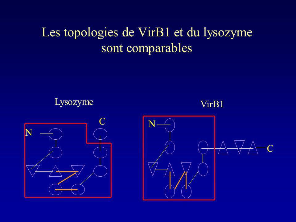 Les topologies de VirB1 et du lysozyme sont comparables
