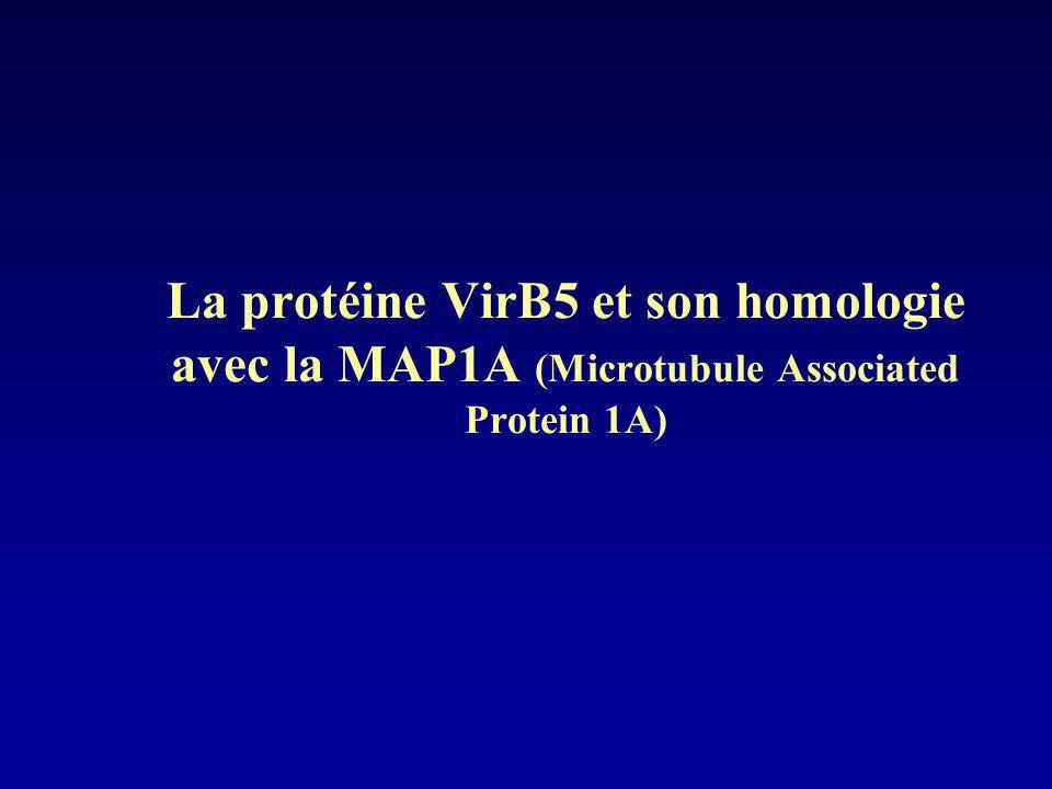 La protéine VirB5 et son homologie avec la MAP1A (Microtubule Associated Protein 1A)