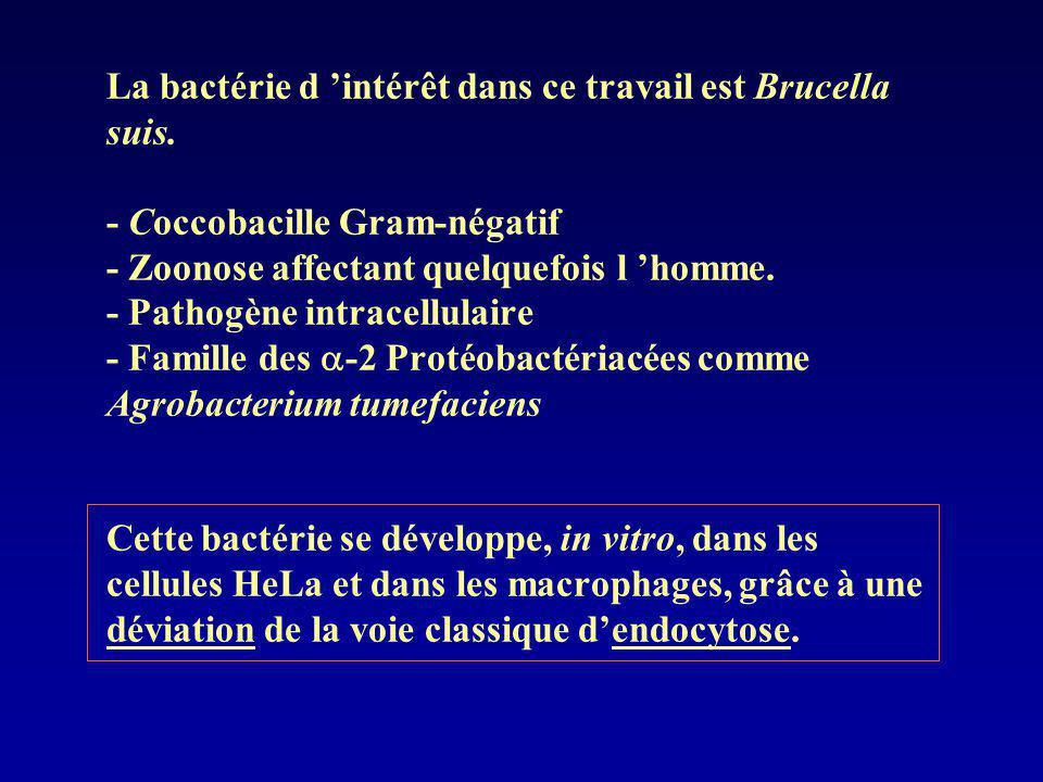 La bactérie d 'intérêt dans ce travail est Brucella suis