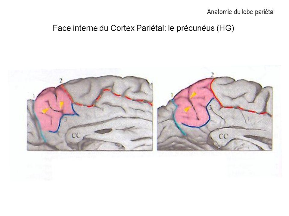 Anatomie du lobe pariétal