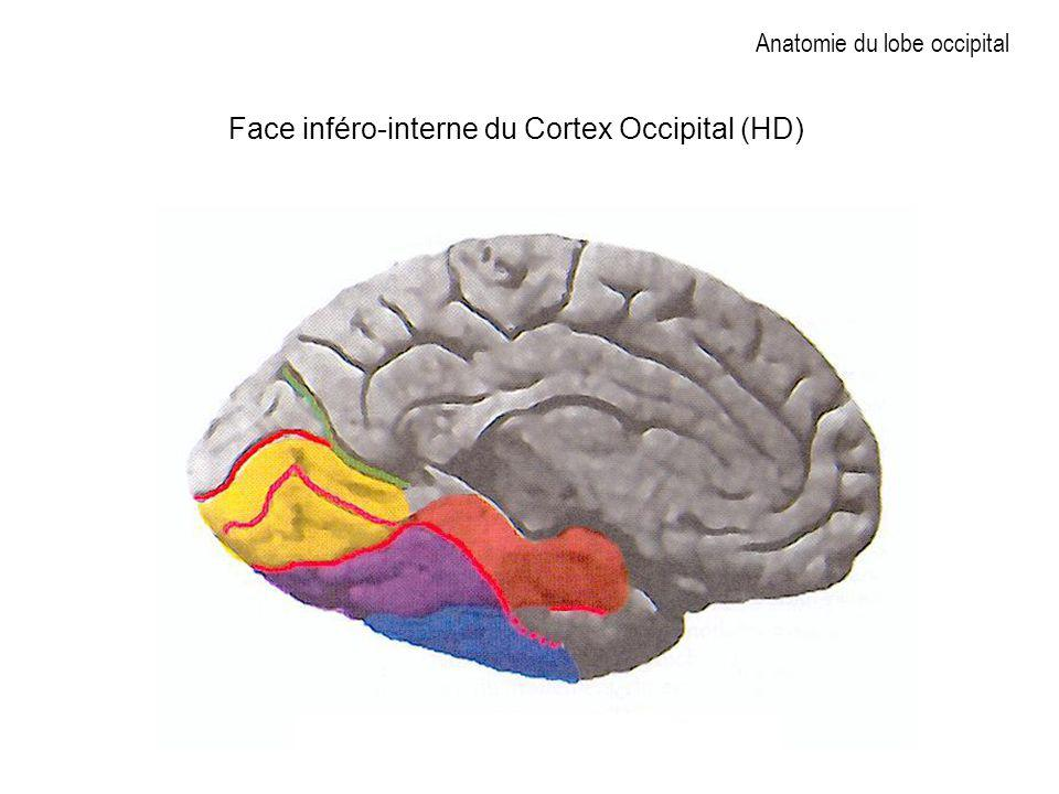 Anatomie du lobe occipital