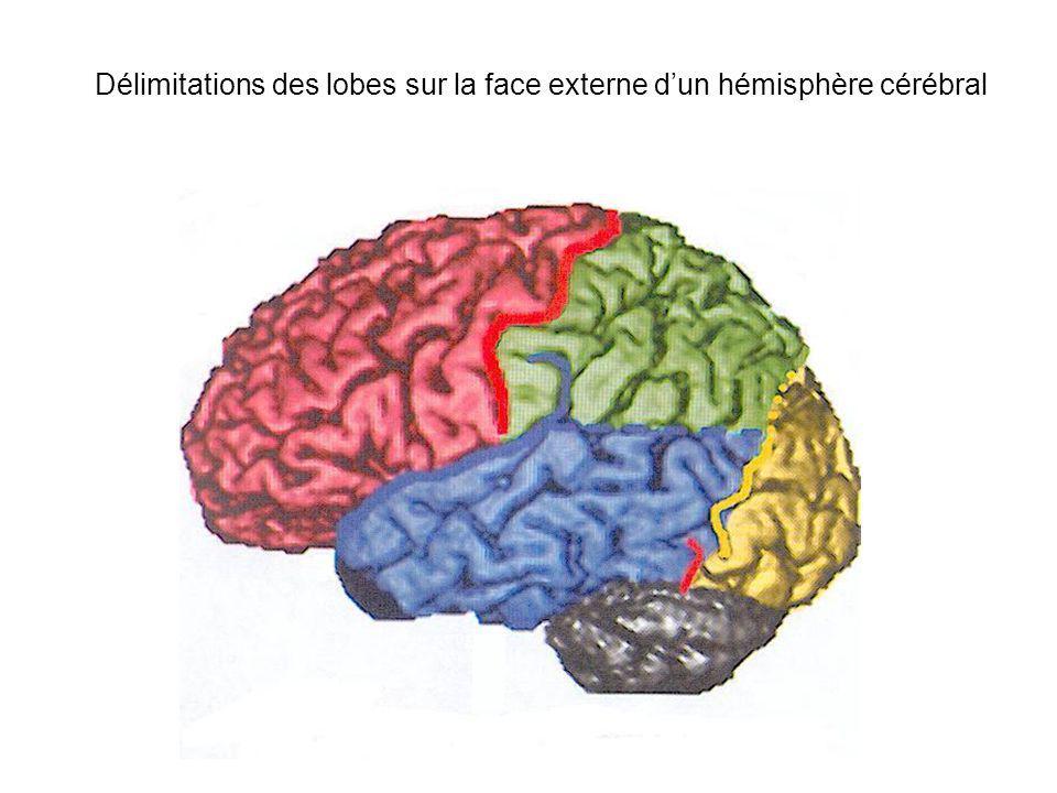 Délimitations des lobes sur la face externe d'un hémisphère cérébral