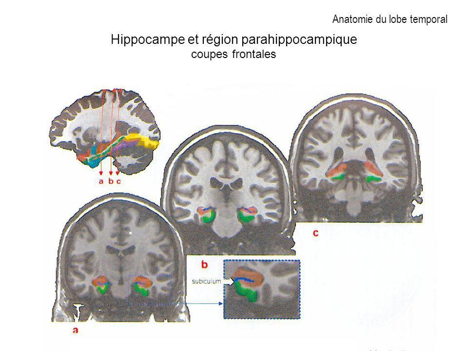 Anatomie du lobe temporal
