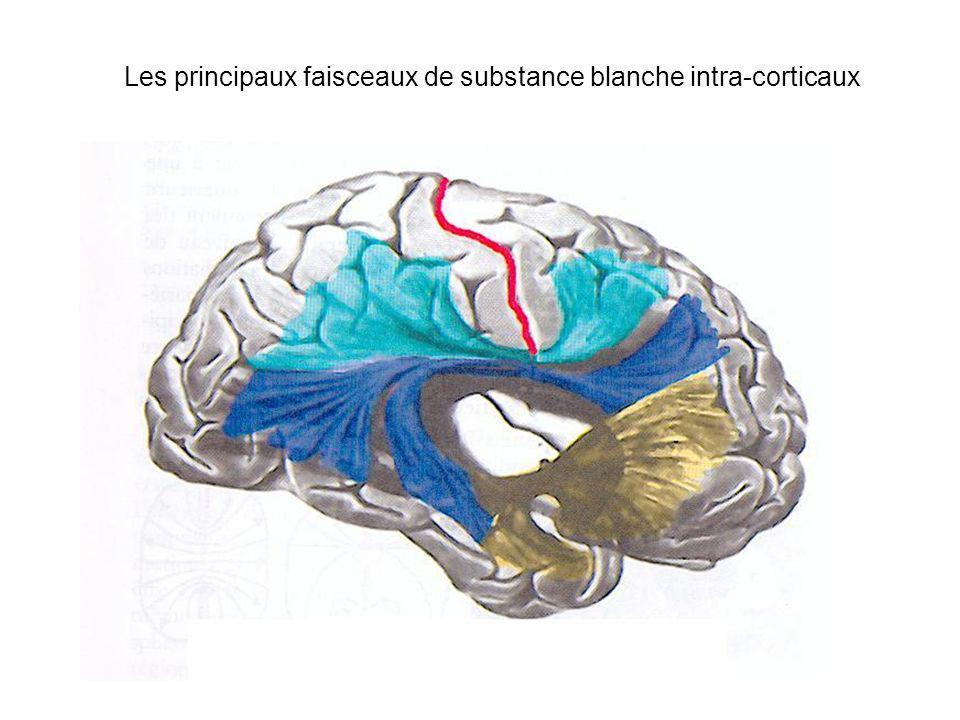 Les principaux faisceaux de substance blanche intra-corticaux
