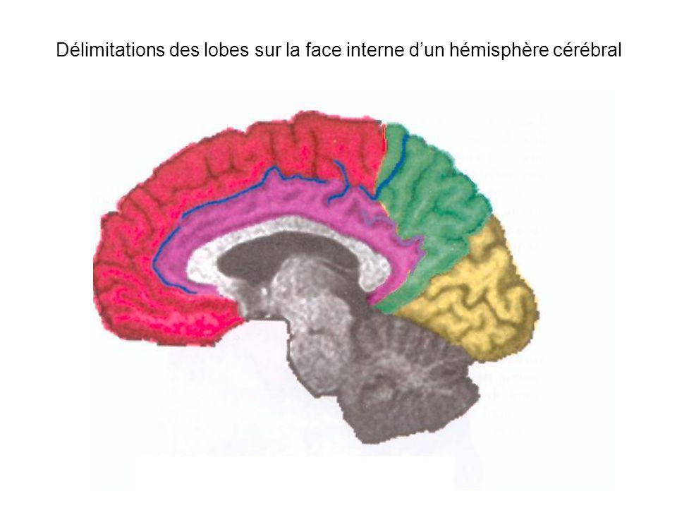 Délimitations des lobes sur la face interne d'un hémisphère cérébral