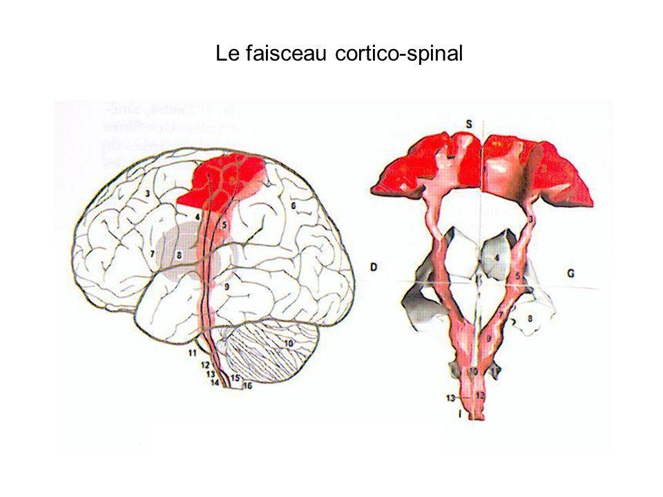Le faisceau cortico-spinal