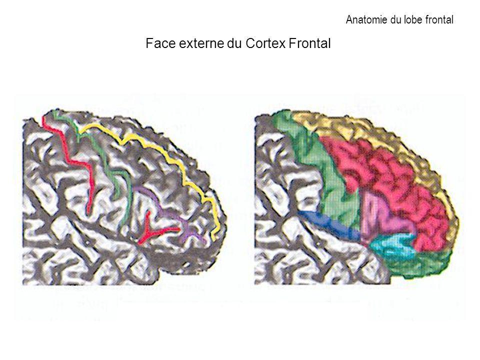Anatomie du lobe frontal