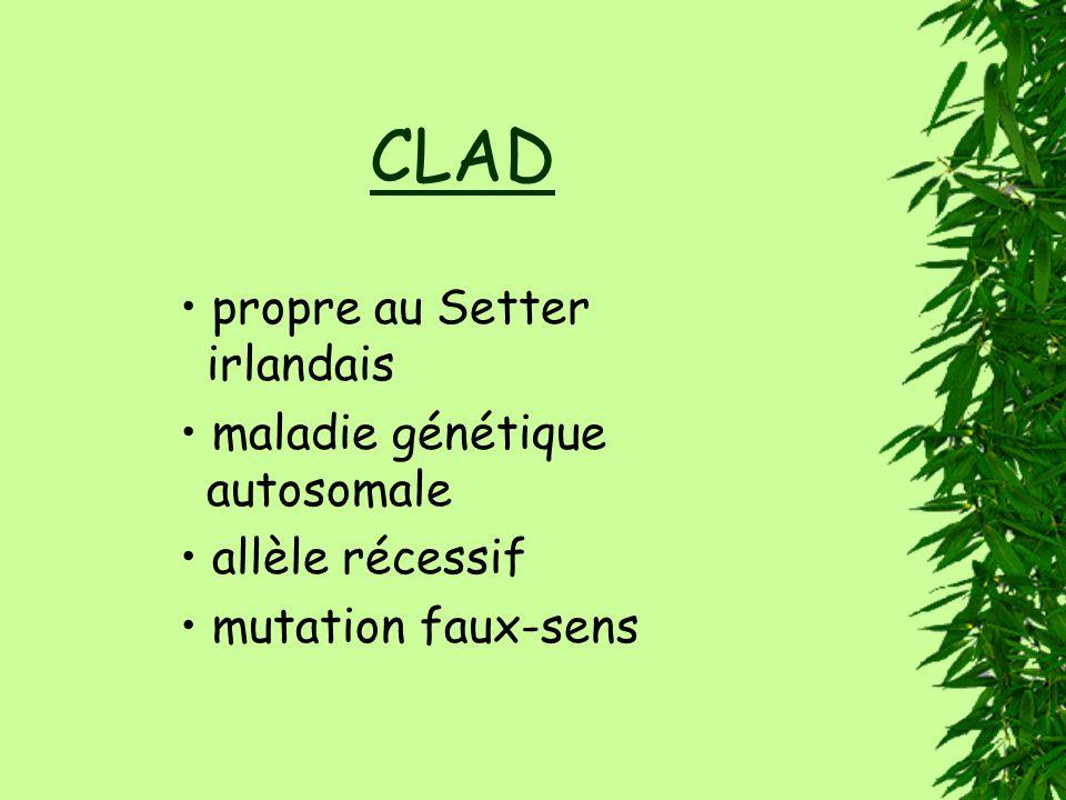 CLAD • propre au Setter irlandais • maladie génétique autosomale