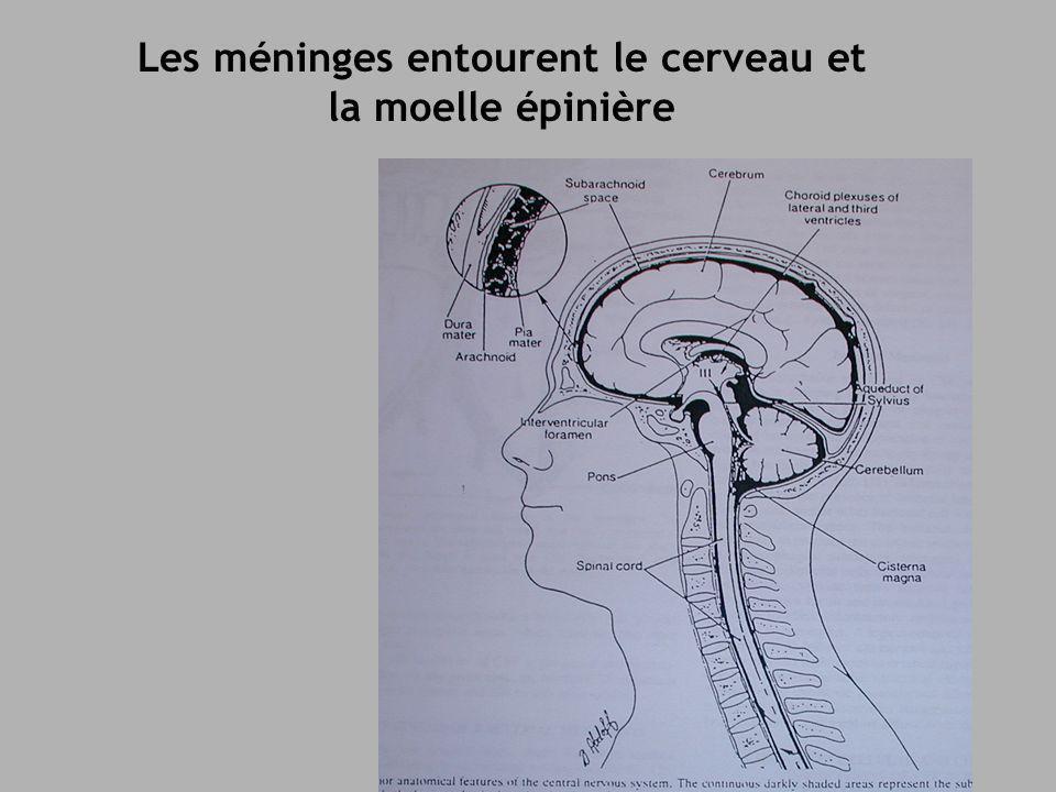 Les méninges entourent le cerveau et la moelle épinière
