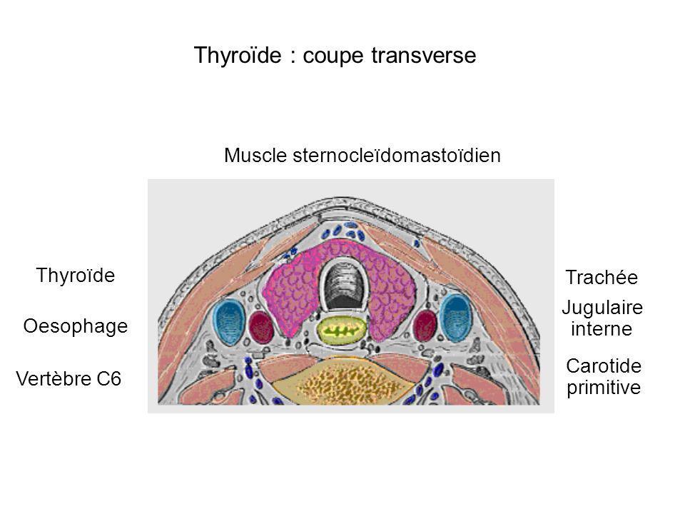 Thyroïde : coupe transverse