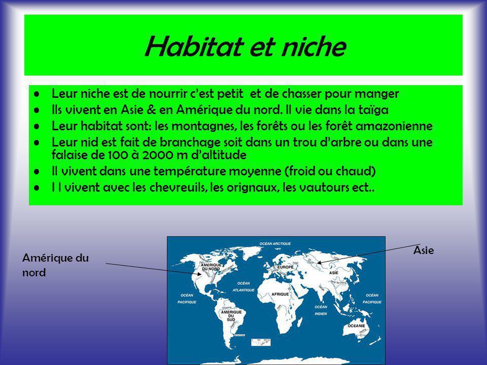 Habitat et niche Leur niche est de nourrir c'est petit et de chasser pour manger. Ils vivent en Asie & en Amérique du nord. Il vie dans la taïga.