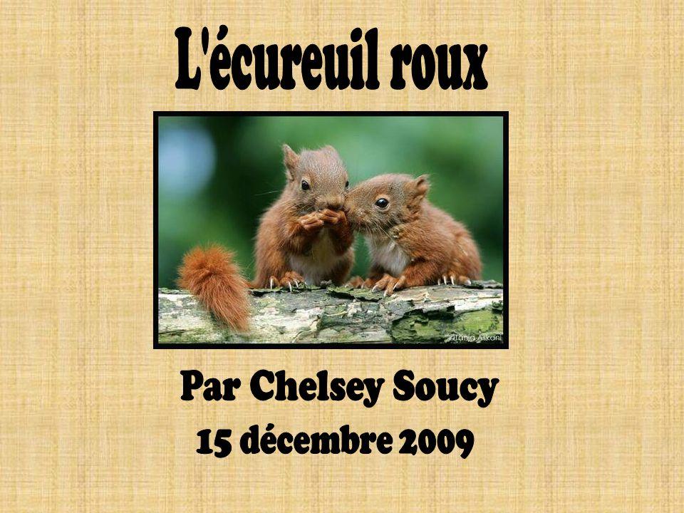 L écureuil roux Par Chelsey Soucy 15 décembre 2009