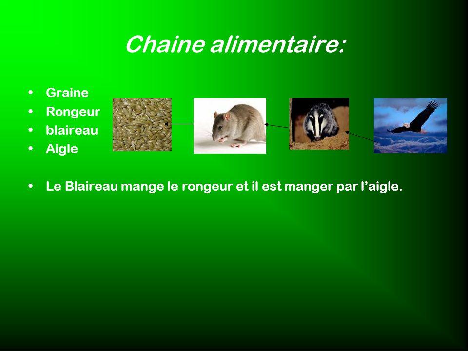 Chaine alimentaire: Graine Rongeur blaireau Aigle