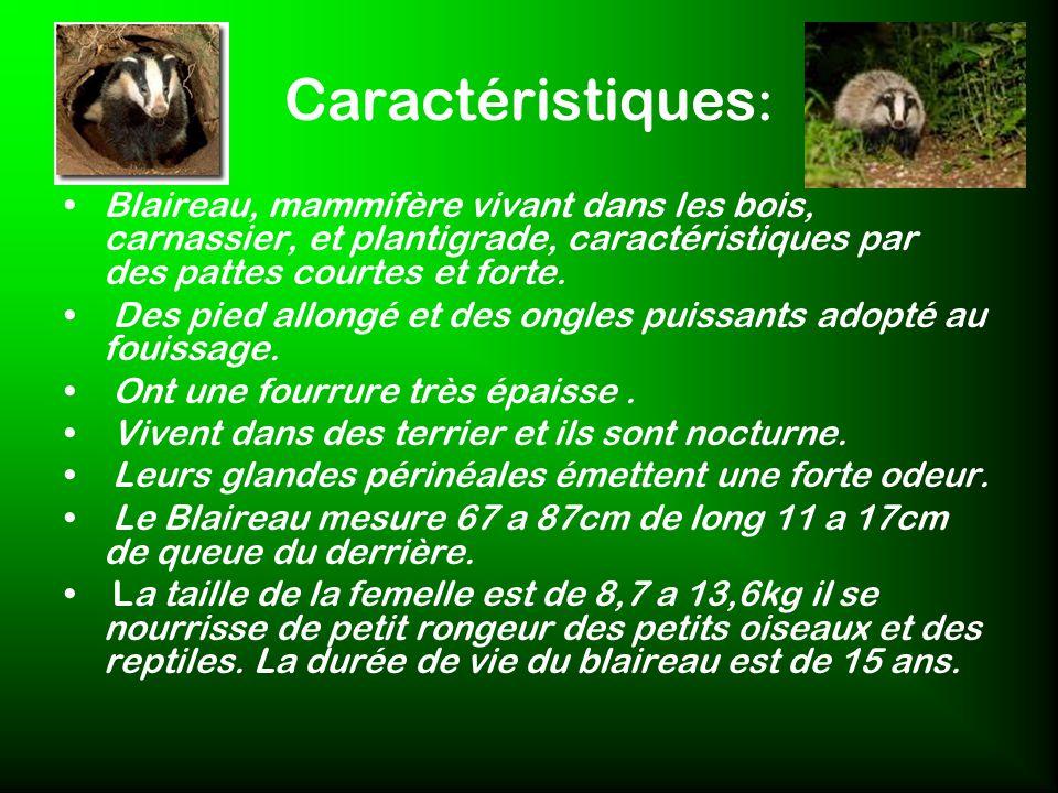 Caractéristiques: Blaireau, mammifère vivant dans les bois, carnassier, et plantigrade, caractéristiques par des pattes courtes et forte.