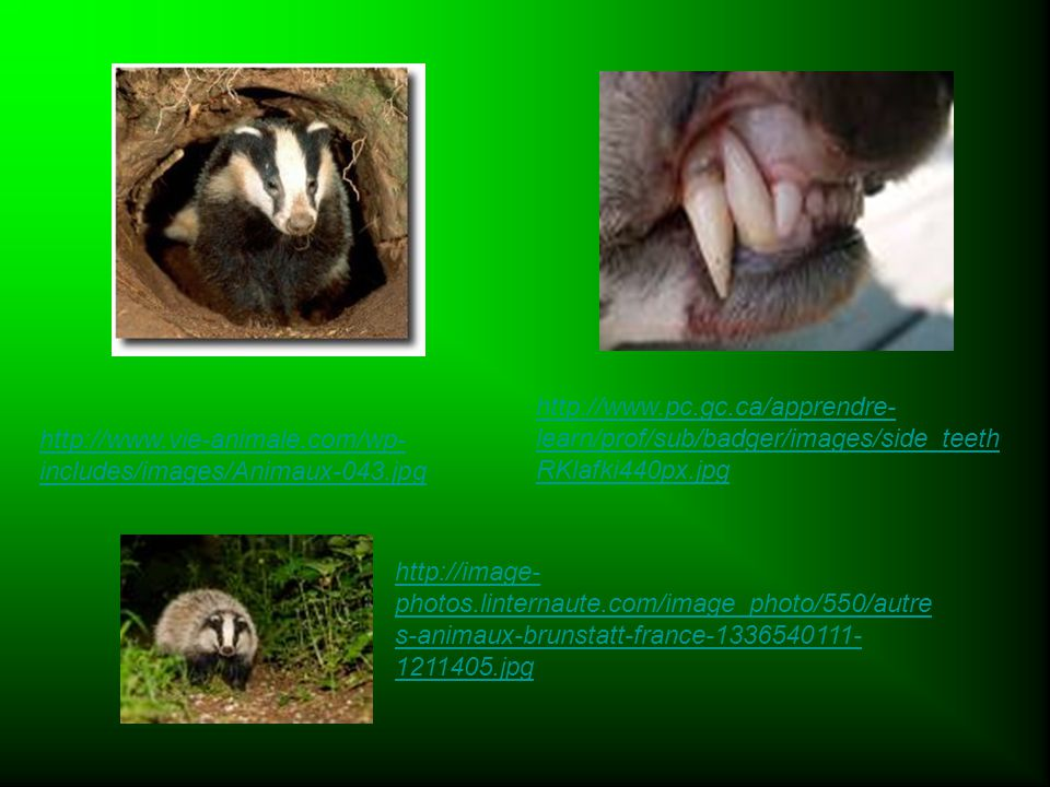 http://www.pc.gc.ca/apprendre-learn/prof/sub/badger/images/side_teethRKlafki440px.jpg http://www.vie-animale.com/wp-includes/images/Animaux-043.jpg.
