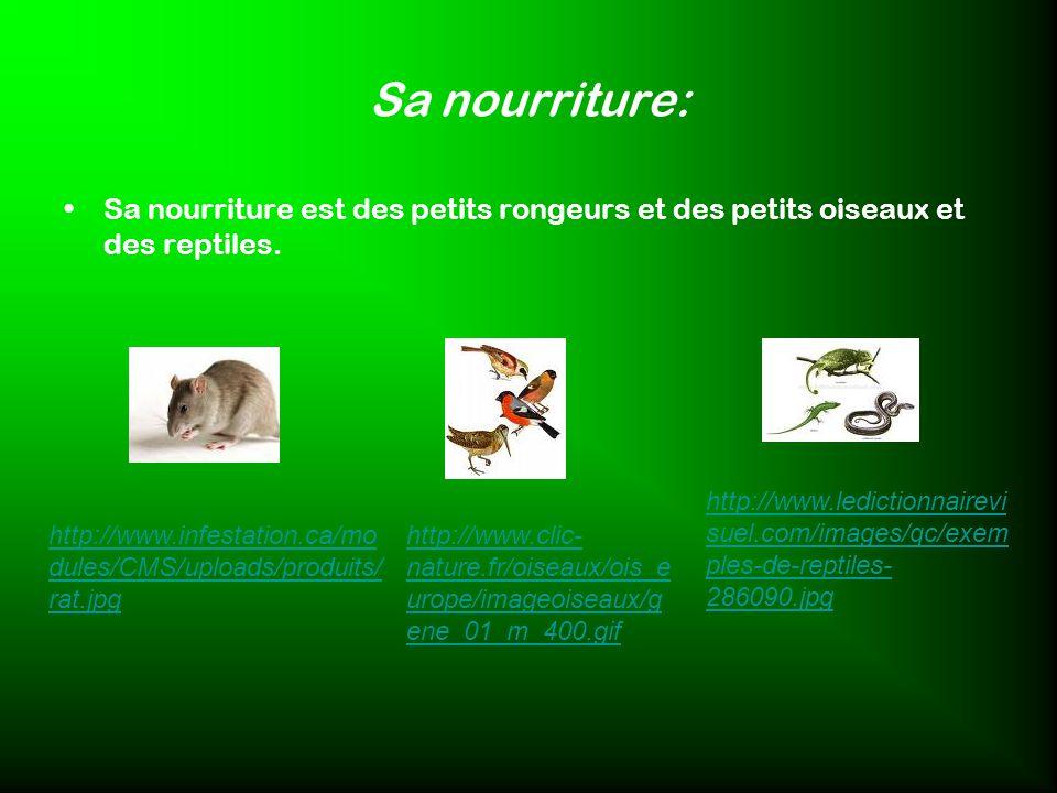 Sa nourriture: Sa nourriture est des petits rongeurs et des petits oiseaux et des reptiles.