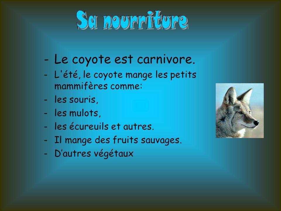 Sa nourriture Le coyote est carnivore.